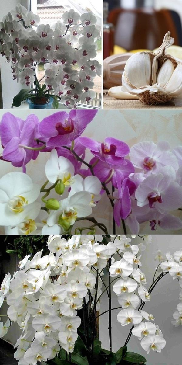 Чеснок спасение для орхидей! Через месяц мой фаленопсис выпустил несколько..