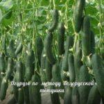 Белорусский метод выращивания огурцов